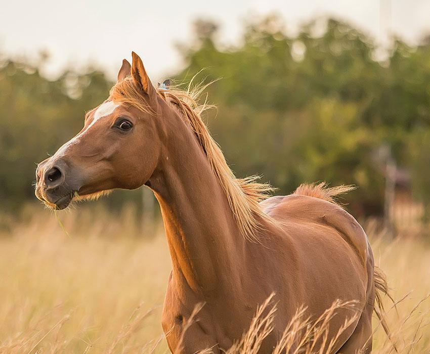 Braunes Pferd auf Weide LeaseForce Leasing für Produkte rund um das Pferd